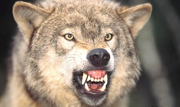 wolf_growl